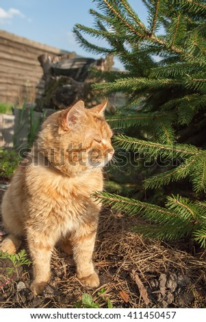 red angry cat sitting near tree in forest. Kitty sitting near christmas tree. - stock photo