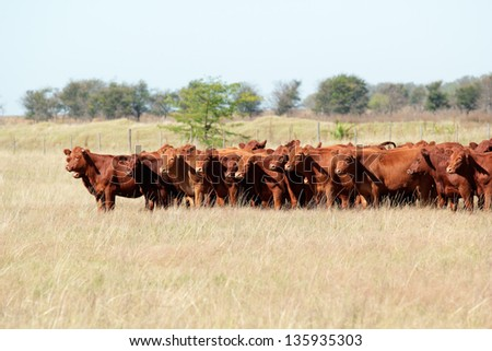 Red angus cattle on pasture - stock photo