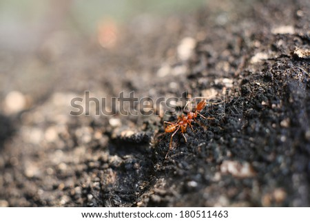 Red ant.  - stock photo