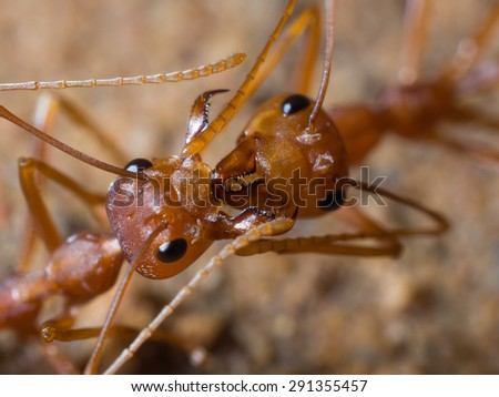 Red Ant are fighting on the ground - stock photo