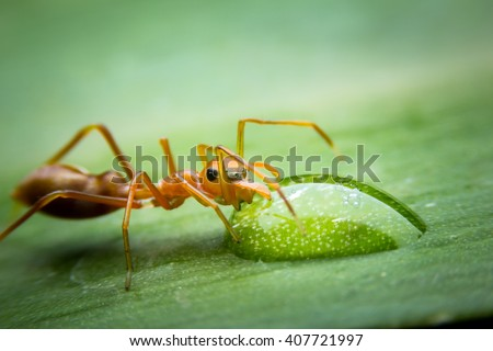 Red ant drinking water on the leap. Red ants - stock photo