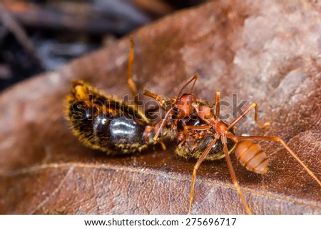 red ant during eating on dry leaf - stock photo