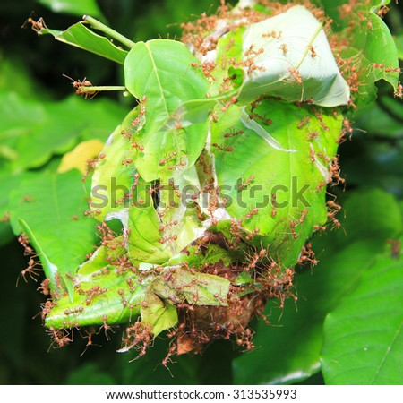 Red ant in ant nest made from green leaves - stock photo