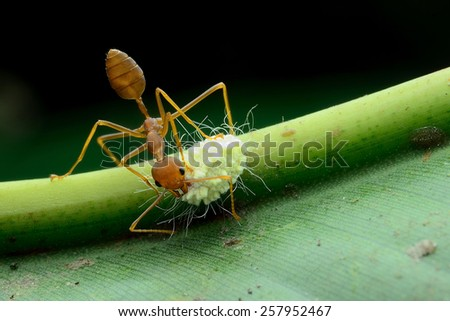 Red ant on a green leaf - stock photo