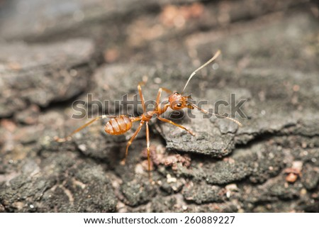 Red ant on the stone blur - stock photo