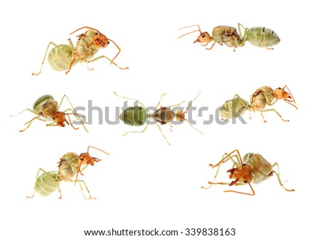 Red ant queen isolate on white - stock photo