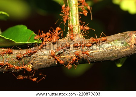 red ant walk on tree  - stock photo