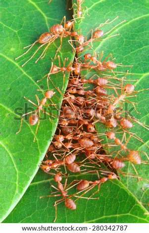 Red ants build their nest with leaves - stock photo