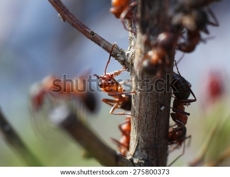 Red ants climbing in garden plants macro closeup - stock photo