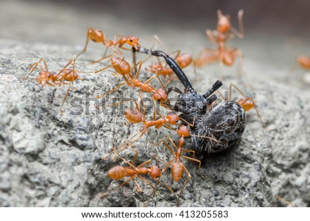 red ants hunt for food together. Spider unfortunately become a victim - stock photo