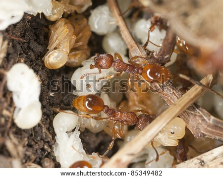 Red ants (Myrmicinae) rescue of larva, extreme close-up with high magnification - stock photo