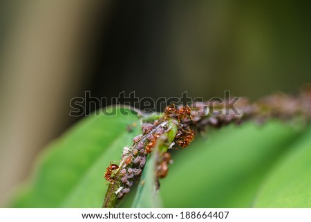 red ants on a green leaf - stock photo