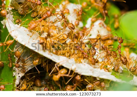 Red ants rescue of larvae in nest - stock photo
