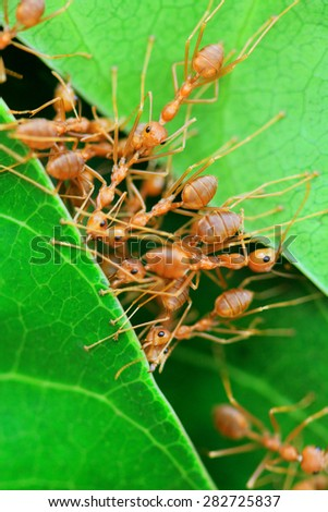 Red ants work as a team to build their nest - stock photo