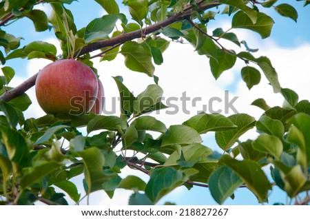 Red apple growing on tree - stock photo