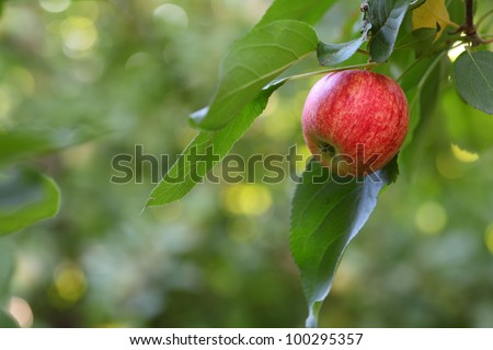 Red apple on a tree with green blurred background. - stock photo