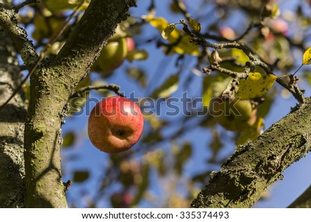 Red apple on apple tree branch. - stock photo