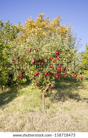 Red Apple Tree, Armenia - stock photo