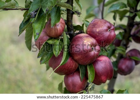 Red apple with dew in the garden - stock photo