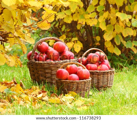 Red apples in the basket. Autumn harvest at the Bio orchard. - stock photo