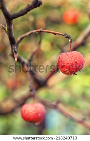 Red apples on apple's tree branch - stock photo