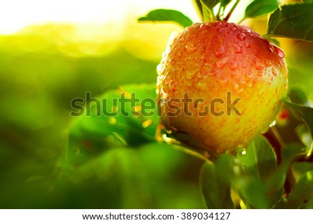 red apples on tree in orchard in morning during sunrise with dew before picking royal gala, fuji, pink lady - stock photo