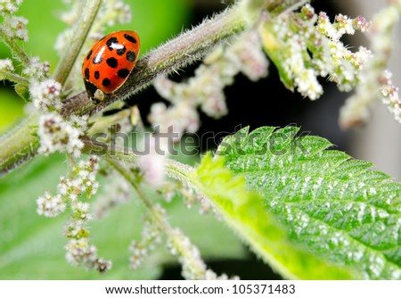 red asian lady beetle, summer meadow - stock photo