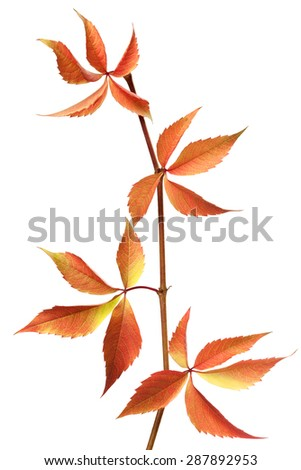 Red autumn branch of grapes leaves. Parthenocissus quinquefolia foliage. Isolated on white background. - stock photo