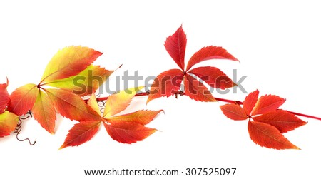 Red autumn branch of grapes leaves (Parthenocissus quinquefolia foliage). Isolated on white background. - stock photo