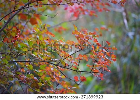 Red Autumn leaves close-up - stock photo