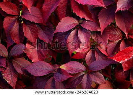 Red autumn leaves on a wall, background - stock photo