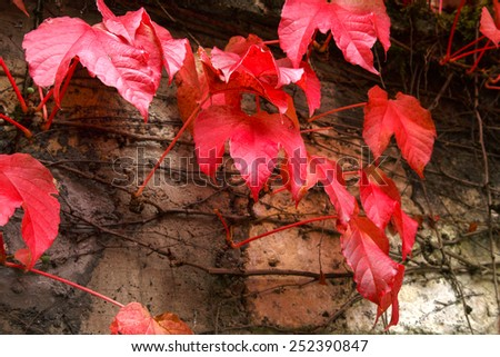Red autumn leaves on creeper on old stone wall - stock photo