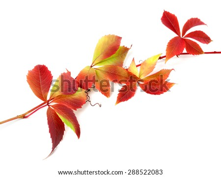 Red autumn twig of grapes leaves (Parthenocissus quinquefolia foliage). Isolated on white background. - stock photo