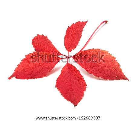 Red autumn virginia creeper leaf. Isolated on white background - stock photo