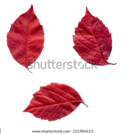 Red autumn virginia creeper leaves on white background. - stock photo