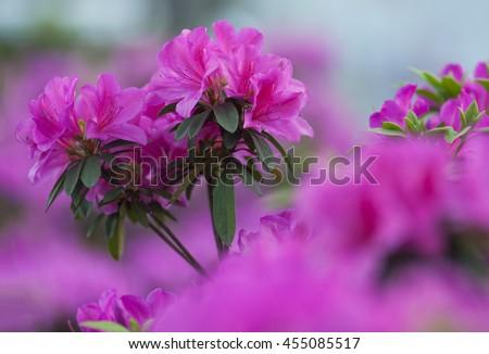 Red azalea - stock photo