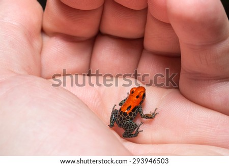Red-backed Poison Frog, (Ranitomeya reticulata) a colorful and poison frog of the amazon Jungle. - stock photo