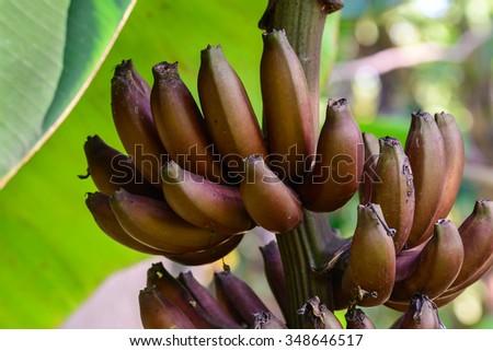 Red banana, Musa Nak Musaceae, AAA group. - stock photo