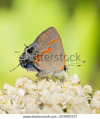 Red-banded Hairstreak feeding on a white wildflower - stock photo