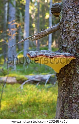 Red banded polypore on tree trunk in woods - stock photo