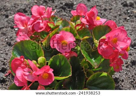 red begonia - stock photo