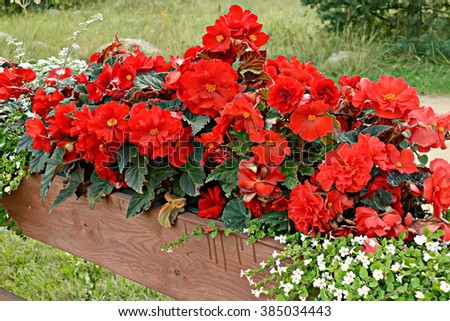 Red Begonia - stock photo