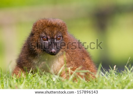 Red-bellied Lemur (Eulemur rubriventer) in a grass field - stock photo