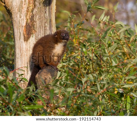 Red-bellied Lemur (Eulemur rubriventer) in a tree - stock photo