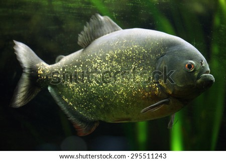 Red-bellied piranha (Pygocentrus nattereri), also known as the red piranha. Wildlife animal.  - stock photo