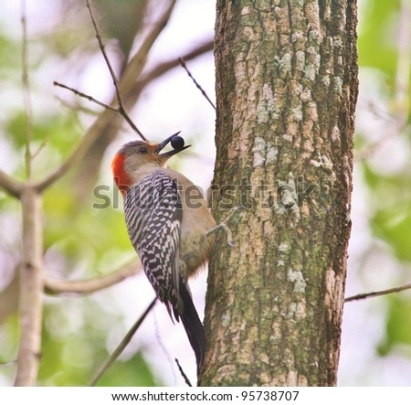 Red Bellied Woodpecker eating a berry. - stock photo