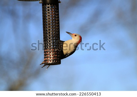 Red-bellied Woodpecker female - stock photo