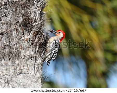 Red-bellied Woodpecker, Melanerpes carolinus, with a nut - stock photo