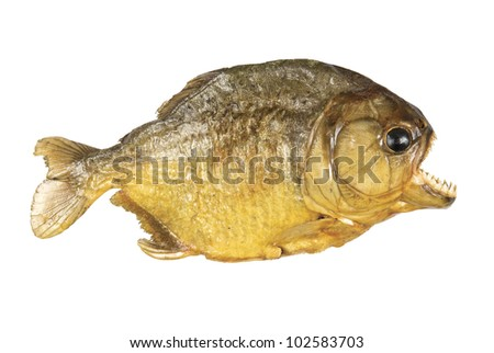 Red Belly Piranha on white background - stock photo