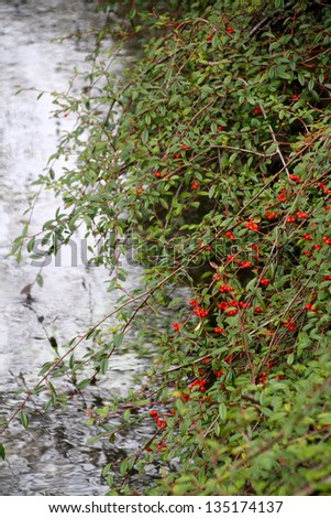 red berries bushes by the river - stock photo